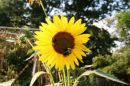 sunflower_big