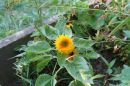 sunflower_little